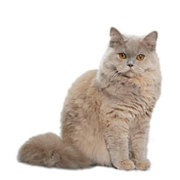 Приму в дар/куплю породистого котенка (мальчика)!