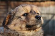 В дар милый щенок