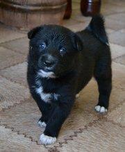Продам щенков породистой Русско-Европейской лайки