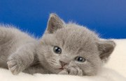 Британский котенок, очень забавный
