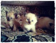 Тайские котята (сиамские)